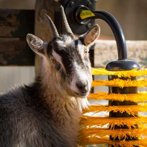 רווחת בעלי החיים בצאן